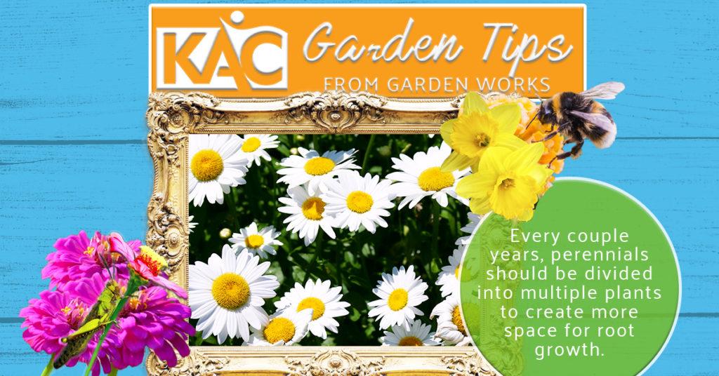Garden-Tips-Daisies